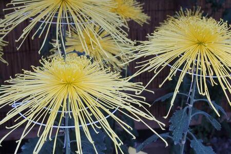 japanese chrysanthemum: Japanese chrysanthemum
