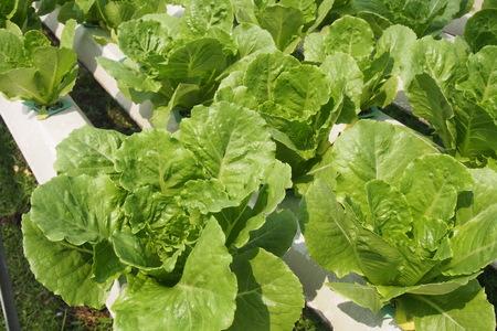 hydroponics: Hydroponics farm Stock Photo