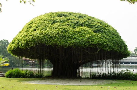 Mushroom shape banyan tree Stock Photo