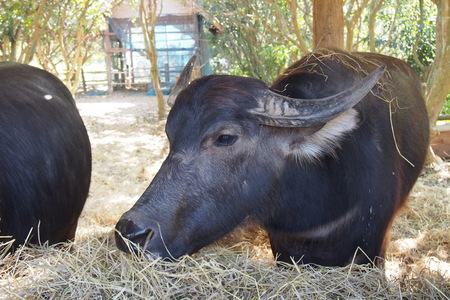 water buffalo: Water buffalo standing with hay Stock Photo