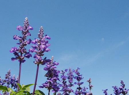 violette fleur: Fleur pourpre contre le ciel bleu