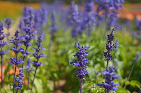 violette fleur: Fleur pourpre dans le domaine Banque d'images