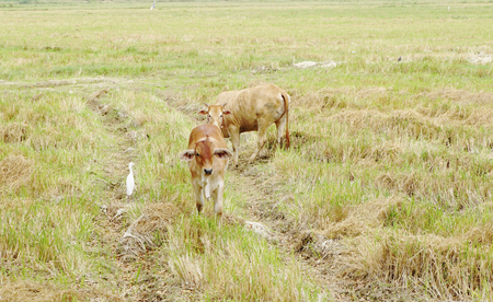 bullock animal: Brown cows in the rice field with white crane Stock Photo