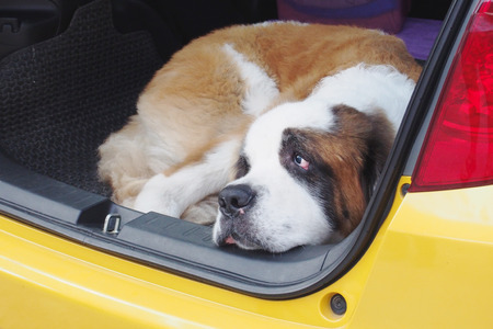 st  bernard: St. Bernard dog squatting in the back of yellow car Stock Photo