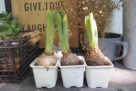 offshoot: Tree little bulbs in white pot for garden decoration