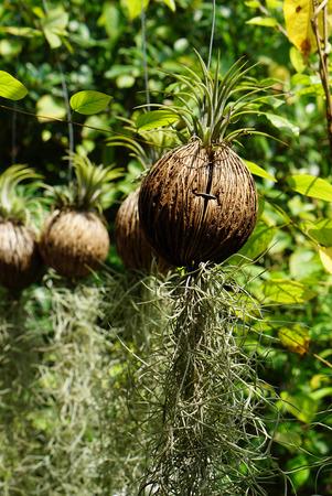 billbergia: Small hanging Billbergia grwing in Suicide tree fruit