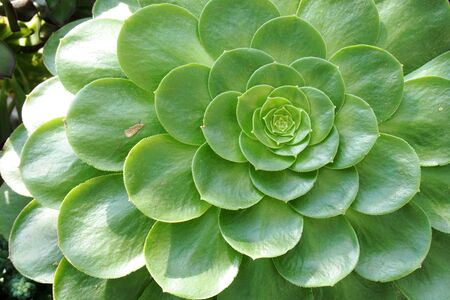 lobe: beautiful green lobe of the succulent plants with natural light