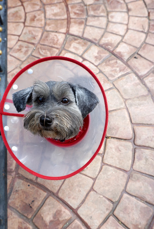 head collar: head shot of the small little black and grey dog with red edge collar on stamped floor