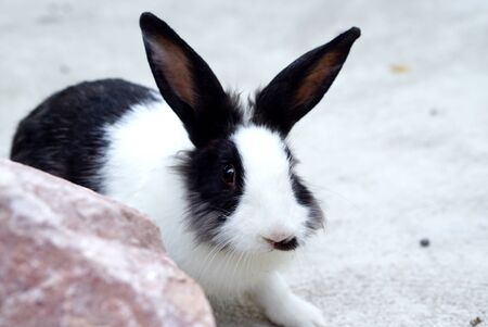 sitting on the ground: Cute white and black ears bunny sitting on the ground Stock Photo