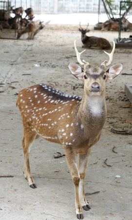 antler: closed ip of the chital deer with beautiful antler