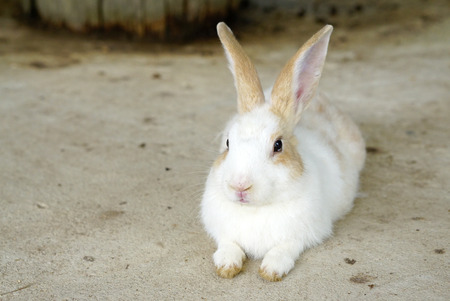 sitting on the ground: Cute white with light brown ears bunny sitting on the ground Stock Photo