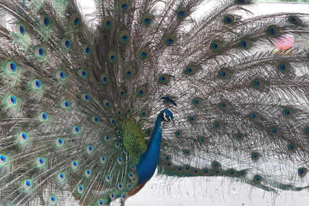 blue peafowl: closed up of Indian Beautiful peacock spread tailfeathers