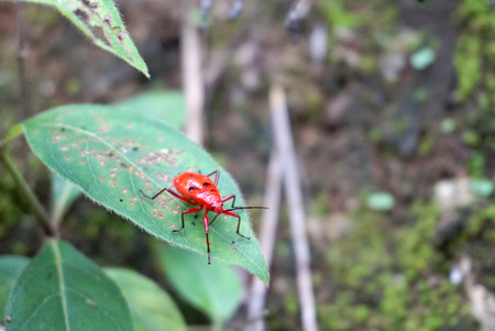 cucurbit: Cucurbit leaf beetle red color on the green leaves Stock Photo