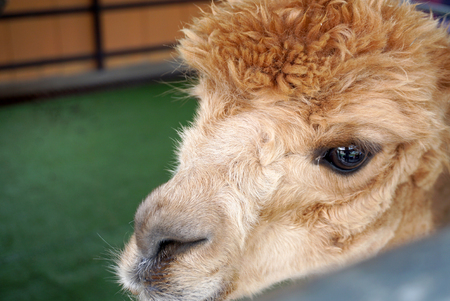 messy hair: Alpaca head with brown messy hair Stock Photo