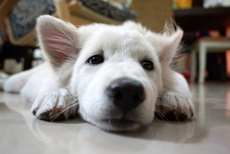 depress: white hair puppy lying on the floor feel sad on her face Stock Photo