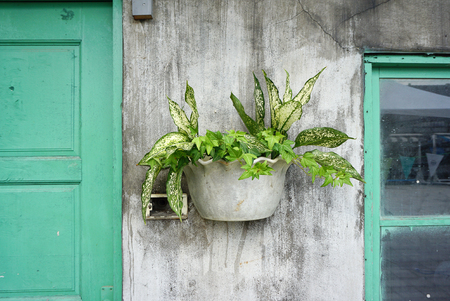 ivy hanging: Ivy and other plants in the pot on the rustic concrete wall with Green window and door frame Stock Photo
