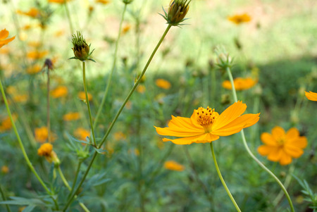 feild: orange blooming Marigold in the feild Stock Photo