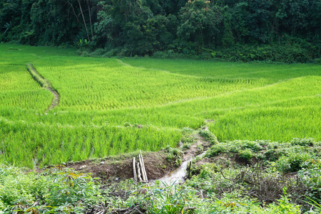 stepping: Stepping rice feild with forest background in Tak province, Thailand