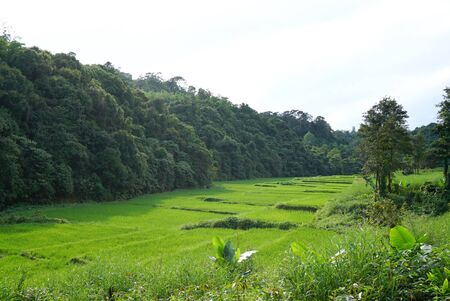feild: Stepping rice feild with forest background in Tak province, Thailand