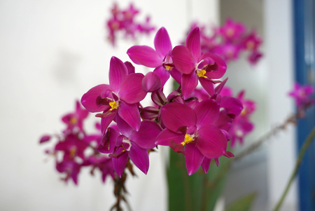 magenta decor: magenta color orchid flower with yellow pollen