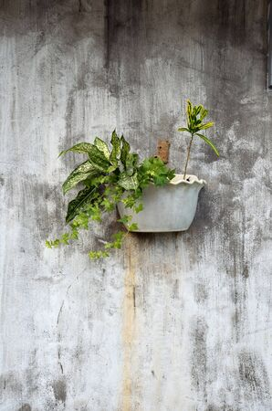 ivy hanging: Plants in the pots hanging on the dirty wall Stock Photo