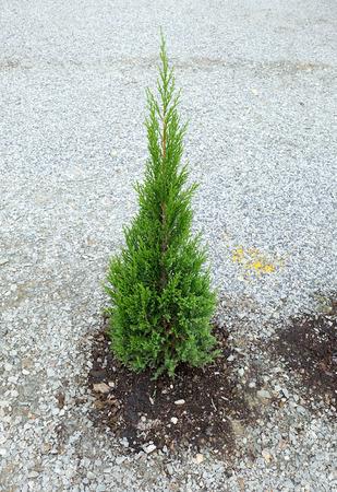 evergreen tree: Small evergreen tree on the rock ground