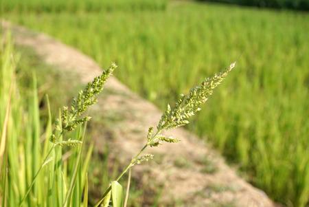 feild: rice paddy with rice feild beackground