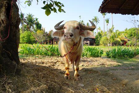 albino: albino water buffalo with rice field background