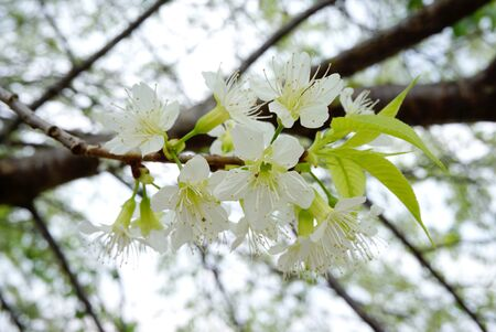 rosaceae: White Rosaceae flowers on tree branches Stock Photo