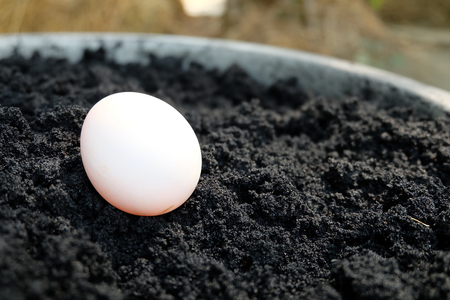 food preservation: Muscovy egg on the black soil ready to make salted egg Stock Photo