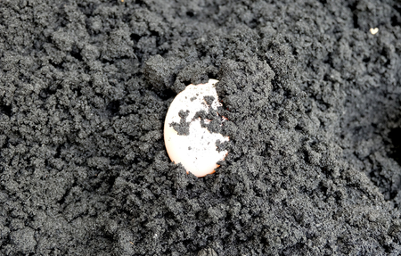 black soil: Muscovy egg on the black soil ready to make salted egg Stock Photo