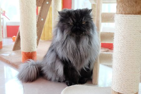 moody: Closed up of the moody dark hair Persian cat