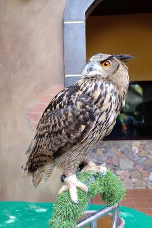 tawny: tawny fish owl with big orange eyes