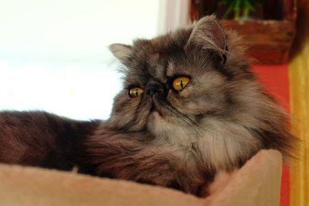 persian cat: Closed up of the dark hair Persian cat Stock Photo