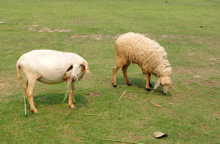 land mammals: hairless sheep with friend on the ground in a farm Stock Photo