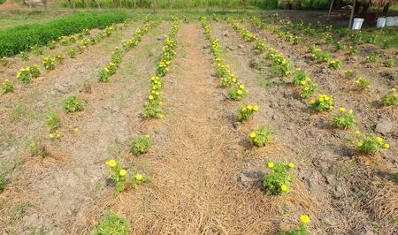 feild: calendula feild in the farm