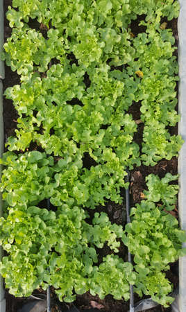 organic farm: fresh green salad vegetable on the ground in organic farm Stock Photo