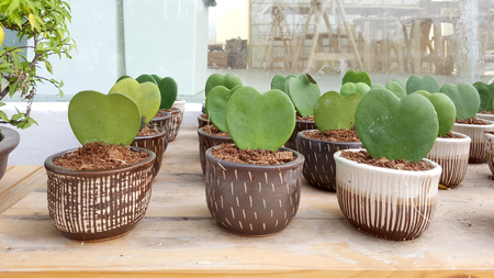 ollas de barro: La forma del corazón Hoya plantas en macetas de arcilla