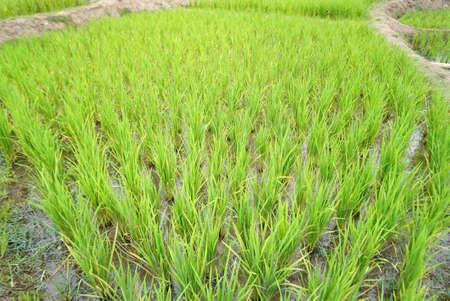 feild: rice paddy in the field