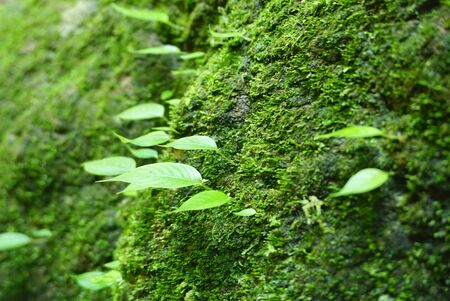 mosses: close up of Green leaves on the rock that cover with green mosses