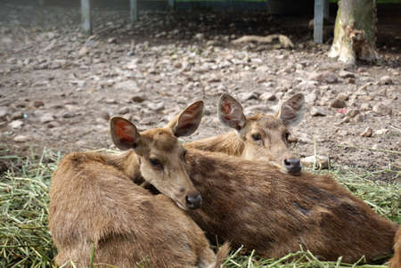 sitting on the ground: Group of deers sitting on the ground in the farm in Thailand