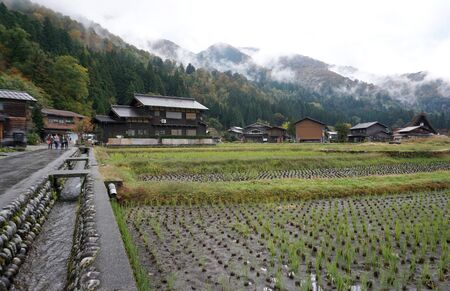 Organic rice field in the shirakawago village area with traditional house background