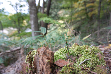 grown up: Plants sprout grown up on Stump with moss surrounding
