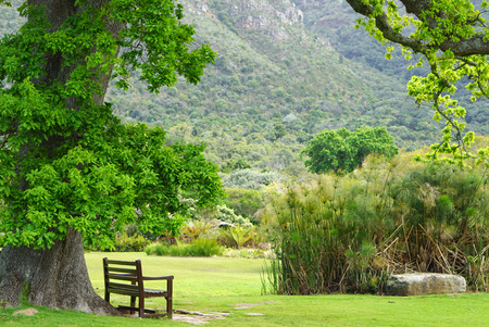 large tree: Timber bench under large tree with mountain background in Cape town, South Africa