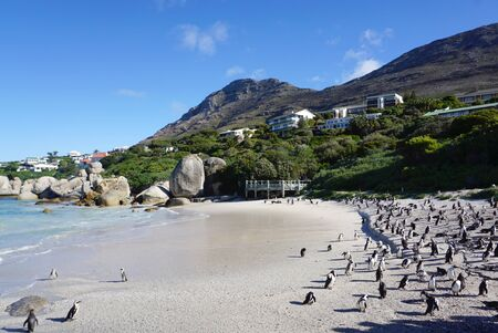 penguins on beach: African Penguins standing  on the beach at Boulders Beach, Table Mountain National Park Stock Photo