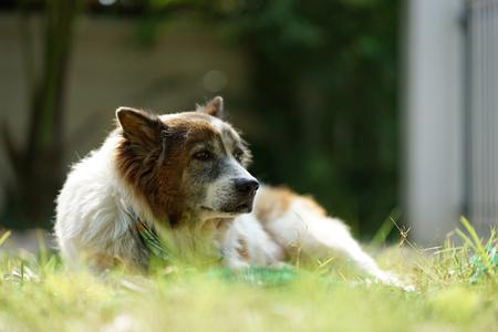 Senior Thai Bangkeaw Dog lying down with sleepy face on the ground outdoor
