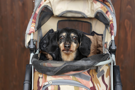 Senior black  Dachshund dogs sitting in the camouflage pattern dog cart with timber background