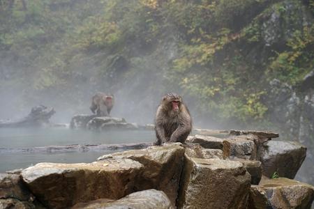 Red face wild monkey sitting on the floor in November at Jigokudani Monkey Park in Yamanouchi, Nagano Japan