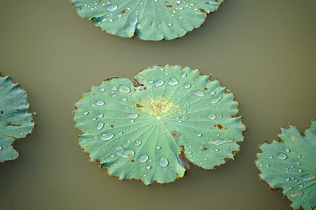 Close up of water drop on the circular waterlily leaves in the pond Stock Photo