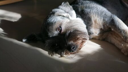 Black color mixed breed dog with big bright eyes lying down on the floor looking at the camera